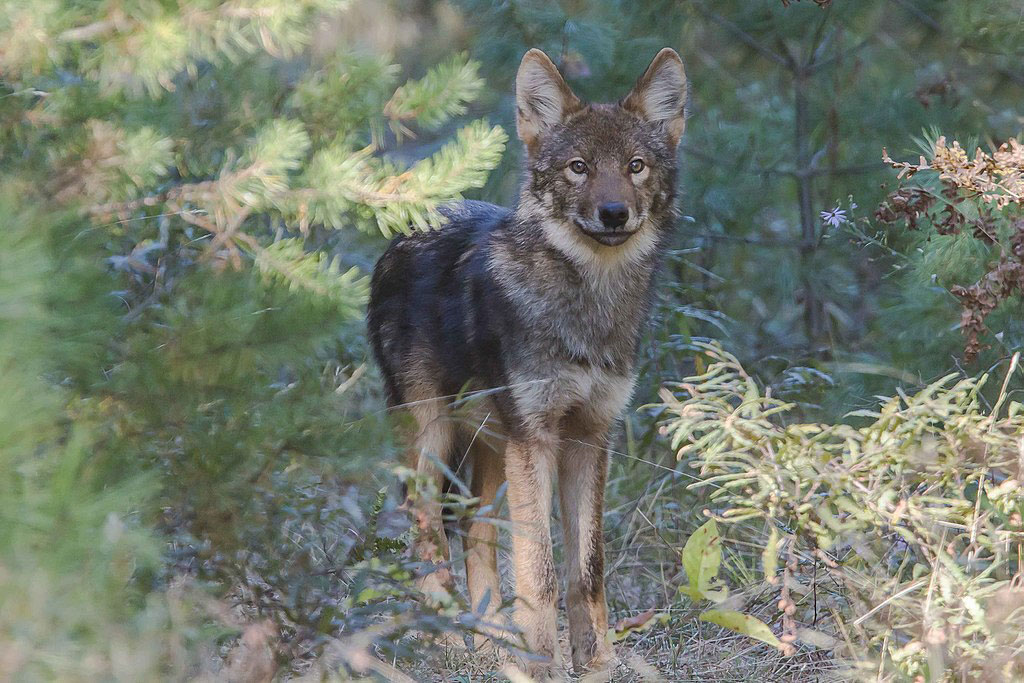 eastern wolf or Algonquin wolf